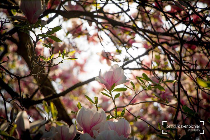 Magnolien im Mirabellgarten, Salzburg  #allein #beauty #beautyprodukt #beziehung #blühen #blüte #blüten #blütenblätter #bäume #dornen #duft #frische #frühling #gefühle #girlie #jahreszeit #jungfrau #knospe #kosmetik #körperpflege #licht #lichteinfall #liebe #magnolie #magnolien #magnolienblüten #mädchenfarben #mädchenhaft #natur #natürlich #ostern #zart #park #pflege #rein #reinheit #romantisch #romanze #rosa #schön #schönheit #sinne #sonne #spiritualität #spirituell #unschuldig #weiblich