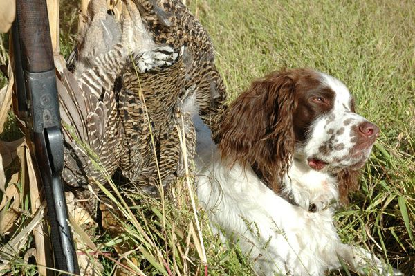 Proper tactics a flushing dog can mean a trophy boomer. Scott Winston goes over grouse hunting with flushing dogs.
