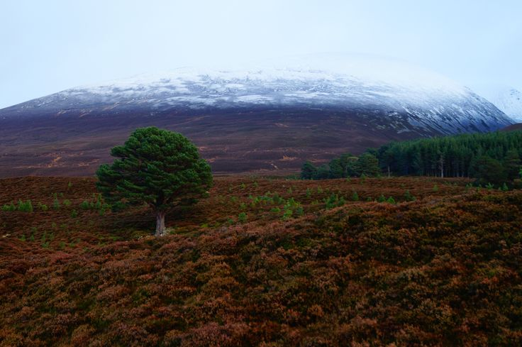 Thinking about tree regeneration: This granny pine was alone in this valley 30 years ago. But look at all the saplings around it now! Deer management has change the valley substantially over the last few decades, reducing the intensity of grazing has allowed young plants to grow and begin forest regeneration  where previously only established trees could survive. #Ecology #succession #ScotsPine #saplings #landscapephotography #ConSci