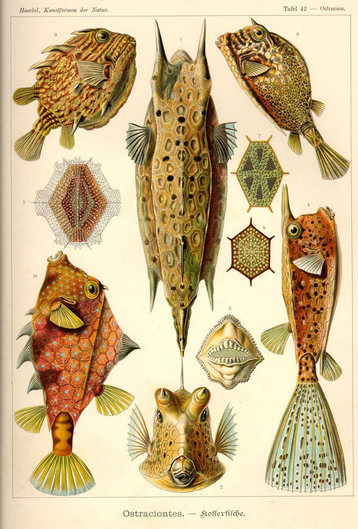 Ostraciontes by Ernst #Haeckel; Kunstformen der Natur, 1900