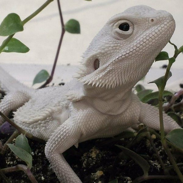 (3) bearded dragon (@beardeddragonxy) | Twitter
