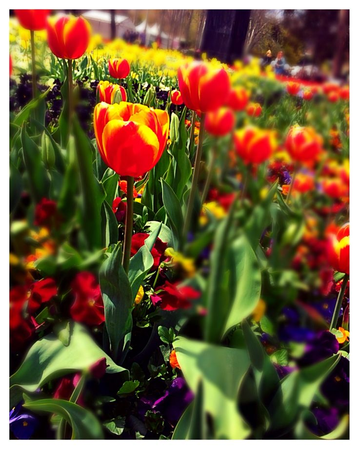 Things to do in Canberra, Australia #Floriade