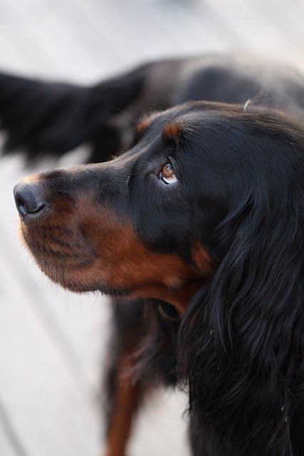 Millie, Gordon setter Spaniel Terrier Dog Photography Puppy Hounds Chien Puppies Pup