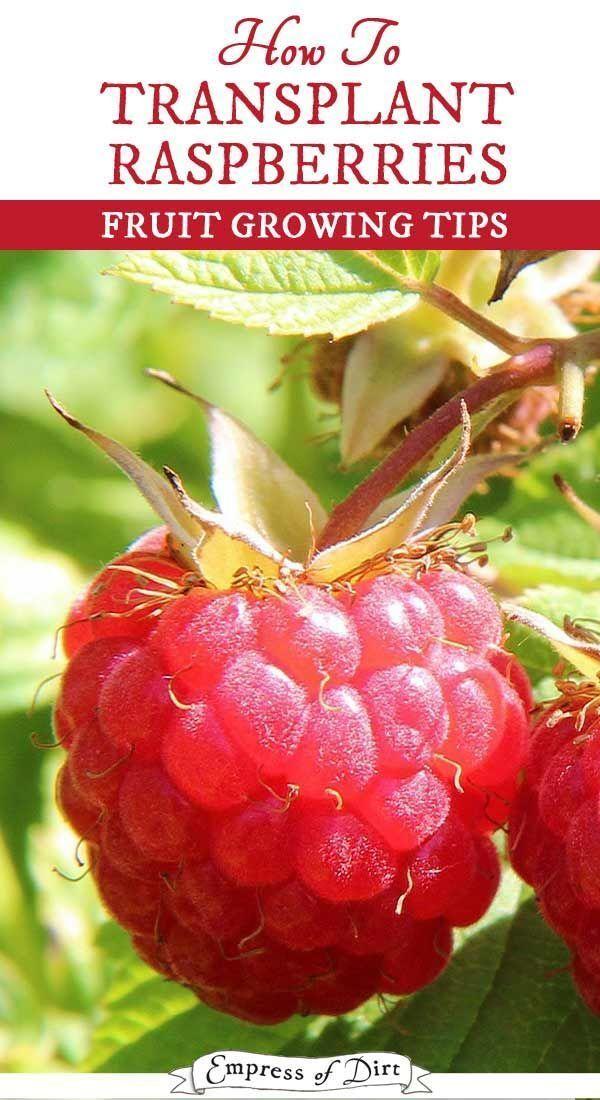 How To Transplant Raspberry Bushes Growing Raspberries Fruit