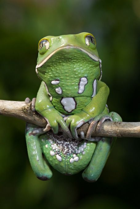 Omg I think I want one! !!  Waxy Monkey Tree Frog
