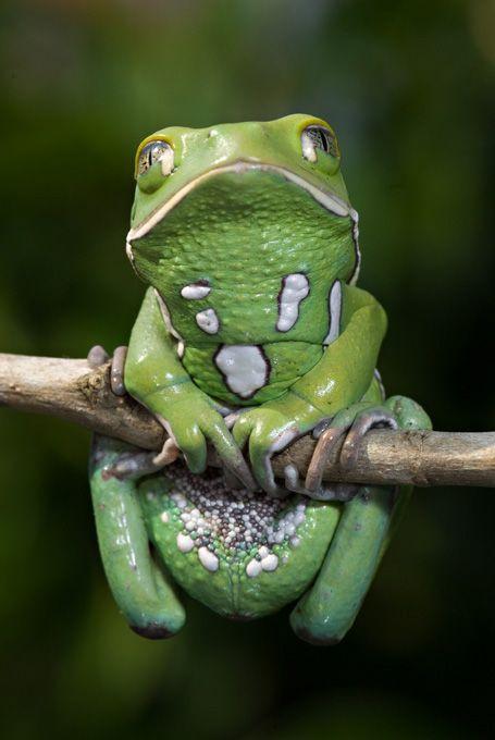 Omg I think I want one! !!  Waxy Monkey Tree Frog