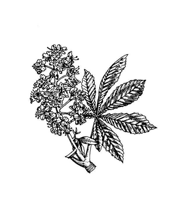 White Chestnut (castaño de Indias) - Flores de Bach