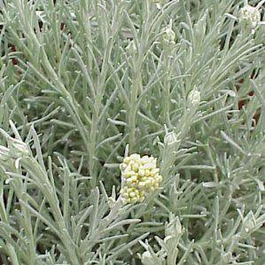Las 25 mejores ideas sobre plantas resistentes la sequ a for Arbustos de hoja perenne resistentes al frio