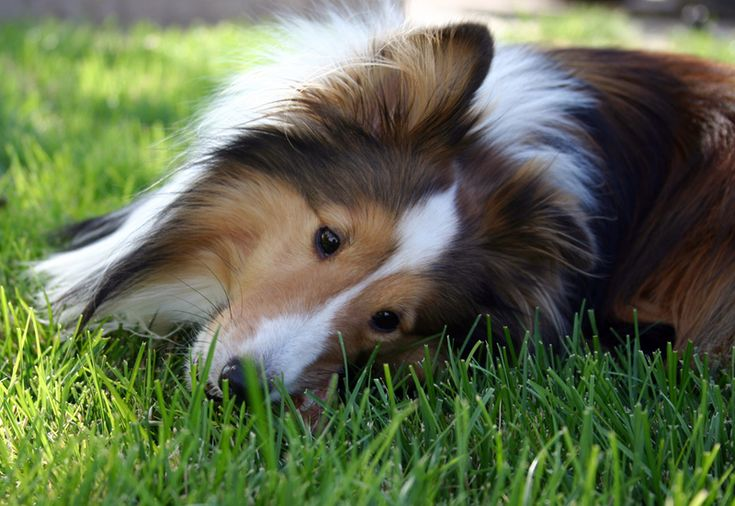 Luv Shelties and they love to lay in nice cool grass....what a beautiful picture!!