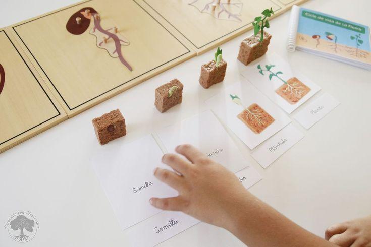 Ciclo de vida de la planta de inspiración Montessori