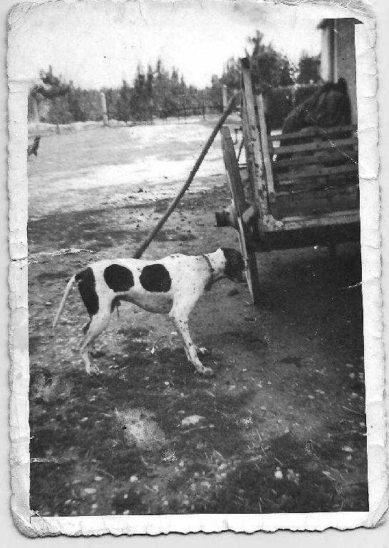 Cortile contadino con carro per trasporto bestiame e cane da caccia (pointer)  Foto caricata da Barbara Dotti