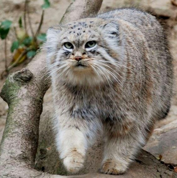 Pallas Cat Stuffed Animal