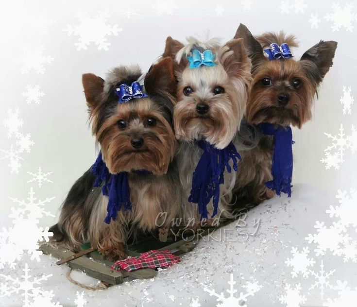 winter wonderland yorkies.