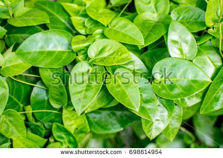 Medicinal Plant : Tylophora Indica also known as Anantmul