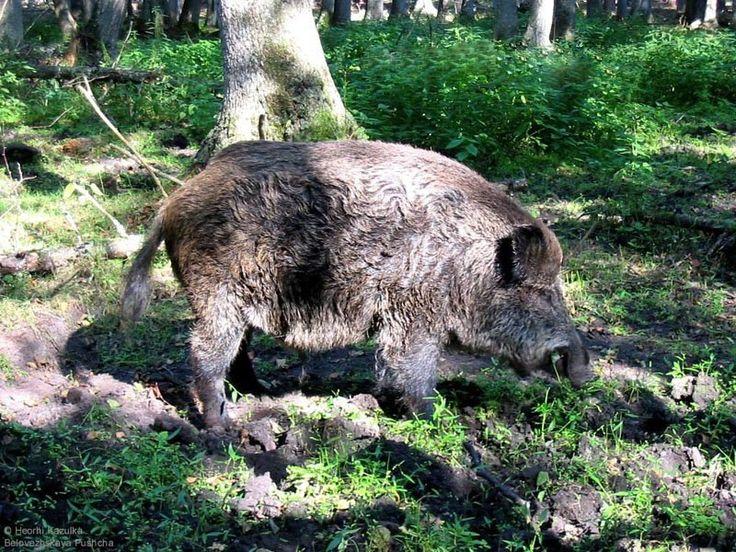 Дикий кабан: места лежки, особенности поведения    Для настоящего охотника дикий кабан является по праву очень ценным и заманчивым трофеем. Во-первых, у дикого кабана качественное и вкусное мясо, оно сочетает в себе вкус дичи и домашней свинины. Во-вторых, охота на кабана сопряжена с опасностями и трудностями, что не может не подогревать интерес охотника, который владеет знаниями о повадках и особенностях зверя. Чтобы в совершенстве разбираться в приемах и способах охоты на дикого кабана…