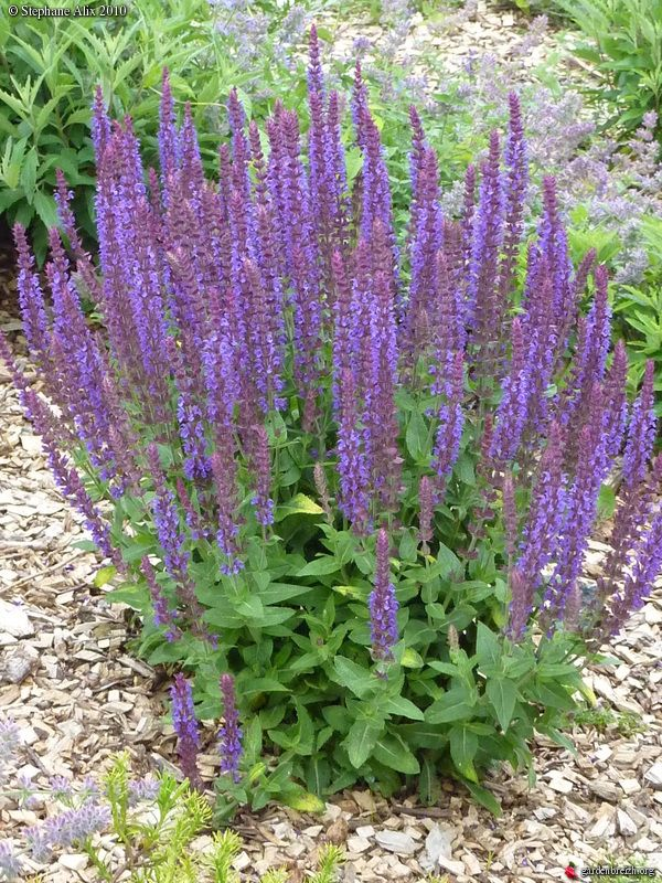 Salvia nemerosa 'Superba' - Sauge superba bleue