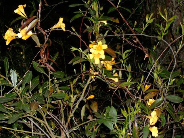 How to grow and care for Carolina Jasmine A Carolina Jasmine Vine in Bloom, Gelsemium sempervirens