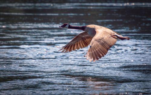 Canada goose in flight over the Columbia River. http://www.terranambrosone.com/Birds/i-9Npz3XQ #bird #Canadagoose #goose #canada #kootenays #nature #wildlife #river #columbiariver