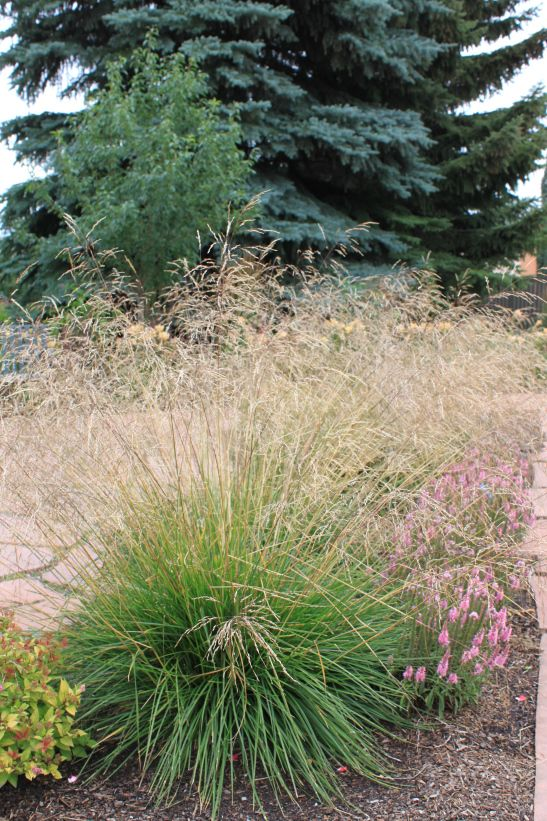 17 best images about ornamental grasses for zone 4 on for Tall purple ornamental grass