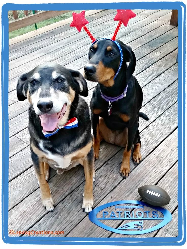 Go Pats! Tut and Penny are always ready for game day! #PatriotsPets ©LapdogCreations