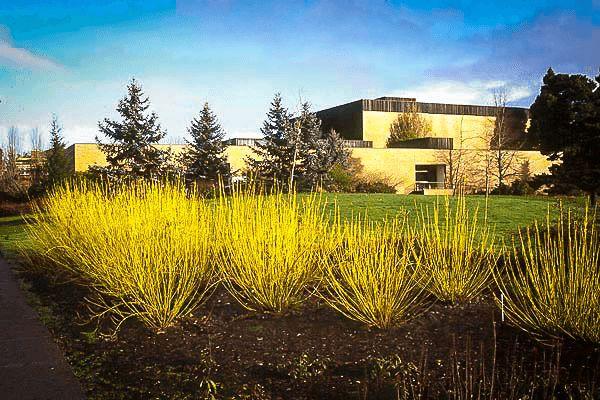 Yellow Twig Dogwood - Species: Cornus sericea 'Flaviramea', Zone: 3-8, Height: 10', Spread: 10', Light: Sun-Shade, Bloom: White/May-Jun
