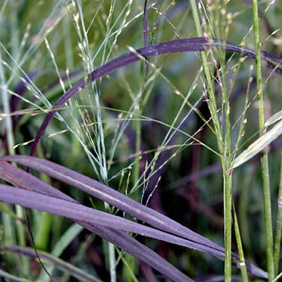 98 best garden grasses images on pinterest for Ornamental grass plants for shade