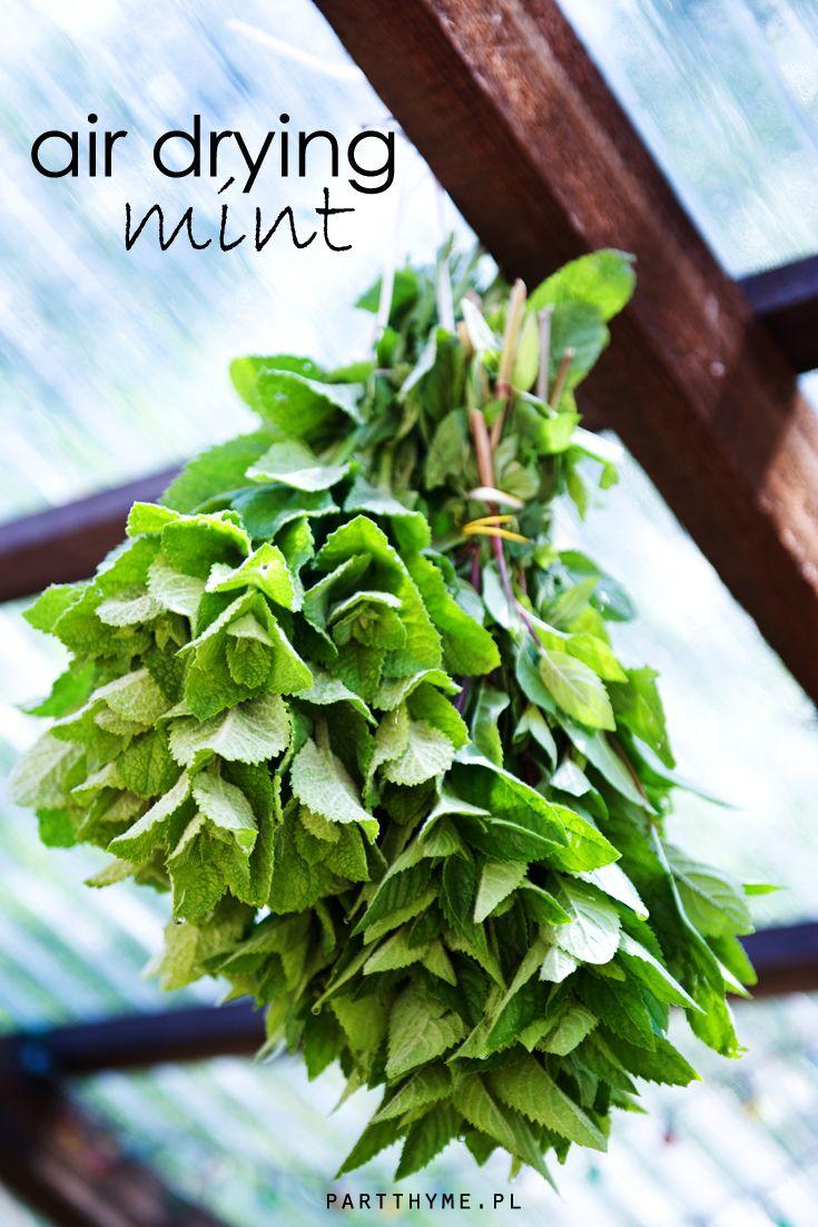 mięta - wstępna faza suszenia  / #mint - air drying