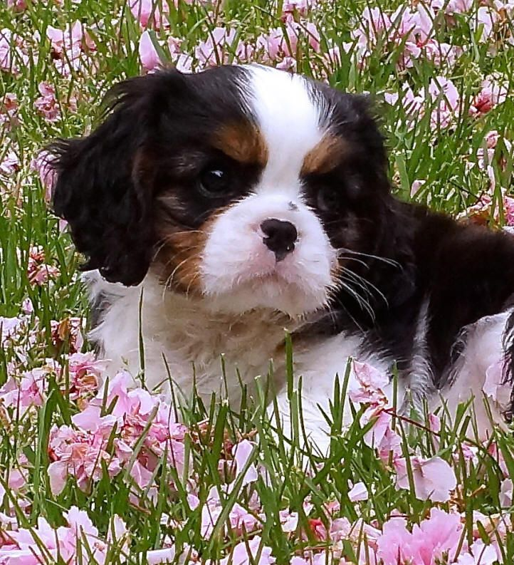 King Charles Cavalier Spaniel Puppy. I usually prefer the brown and white only but this one is really cute.