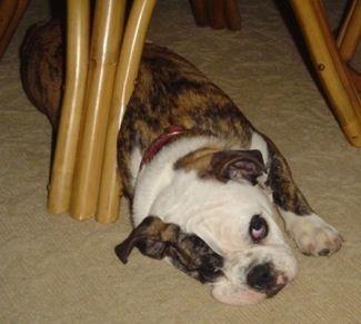 Future Dog! Mini English Bulldog