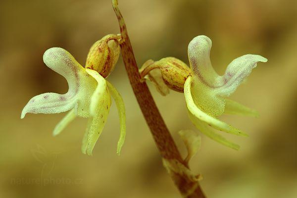 Sklenobýl bezlistý. Česká orchidej, vyhledává stinná místa.