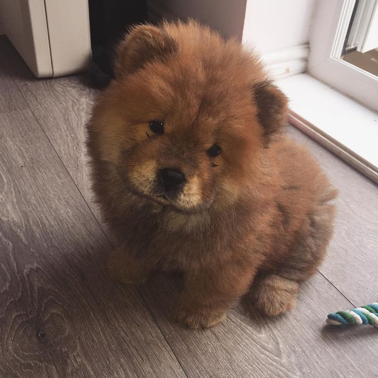 Chow Chow Fluffy Animals Chow Chow Puppy
