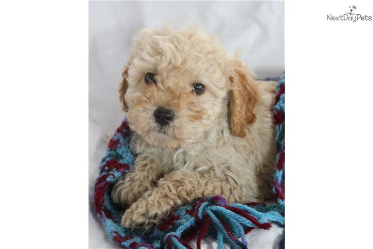Oliver Cavapoo puppy for sale near Grand Rapids
