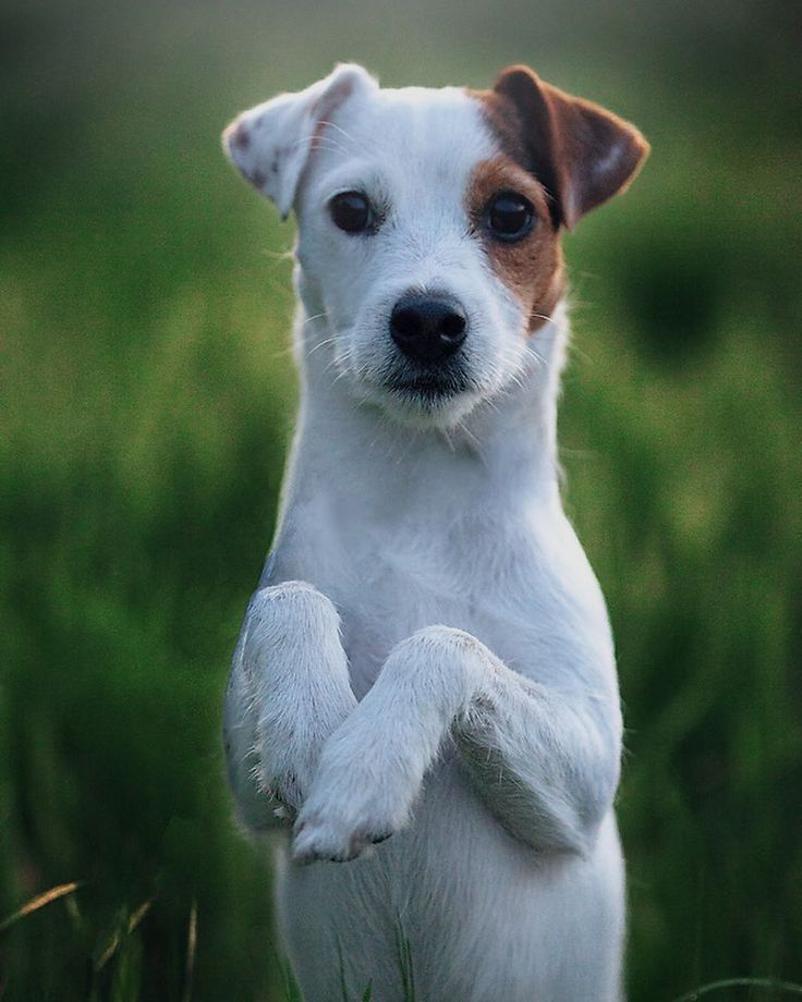 Pin by Barbara Baker on Rotten dogs | Parson jack russell, Dogs