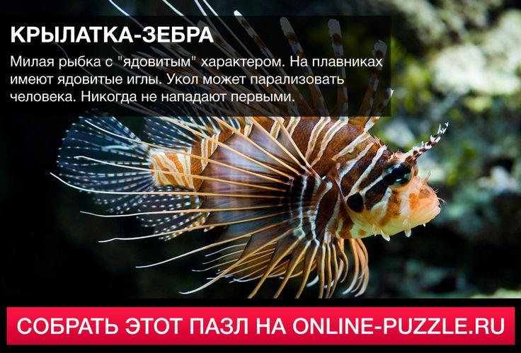 """Милая рыбка с """"ядовитым"""" характером. На плавниках имеют ядовитые иглы. Укол может парализовать человека. Никогда не нападают первыми. #пазл #играонлайн #интересныефакты"""