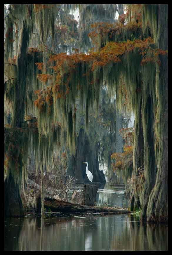 New Orleans. Swamp tour. Egret or White Heron in Swamp. One of the most beautiful PINS I have ever seen. Amazing.