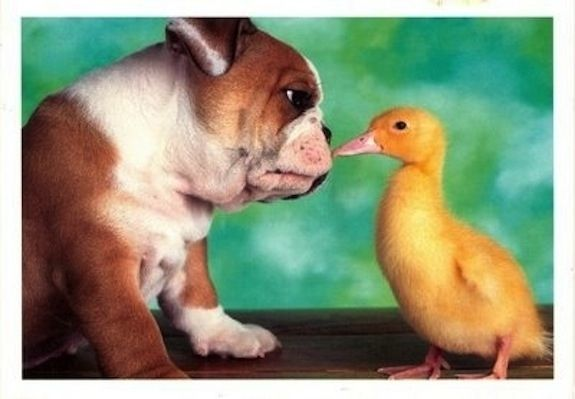 eeeee so cute!: Bulldogs Obsession, Doggies Dogs, Best Friends, English Bulldogs, Dear Animal, Ducks Ducks, Sweet Bulldogs, Ducks 3, Adorable Animal