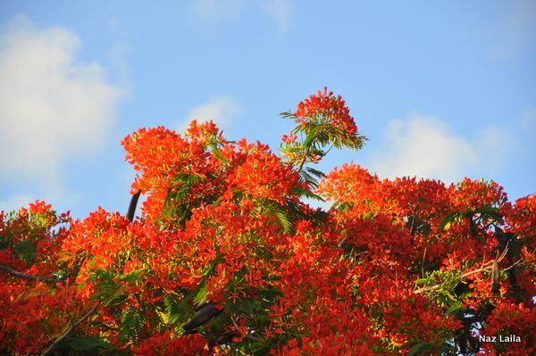 From my Everyday Beauty -photography series , beautiful FLAME TREE