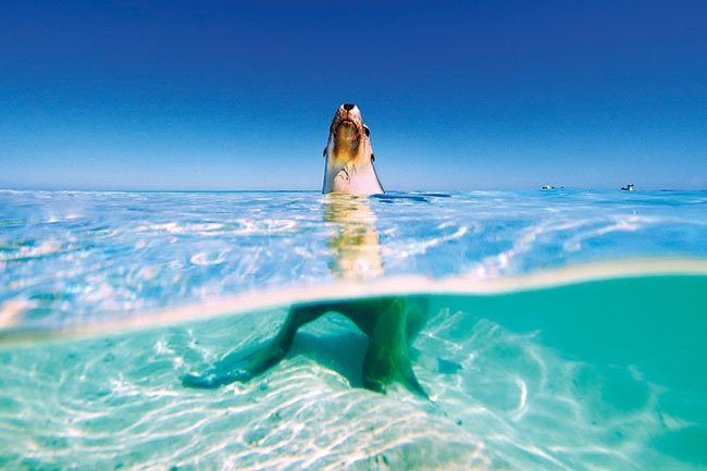 The waters surrounding the Abrohlos Islands off the coast of Geraldton are home to marine mammals such as the sea lion and the bottlenose dolphin -- #WesternAustralia. Picture: Steve Fraser.