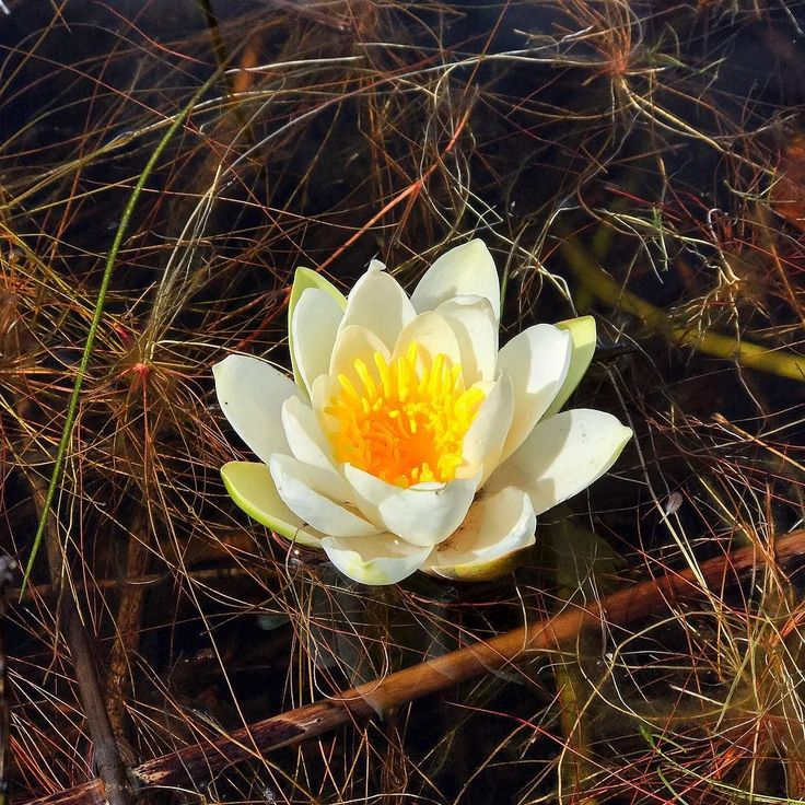 Water Lilly @Værlandet 2017 (c) by TovaK