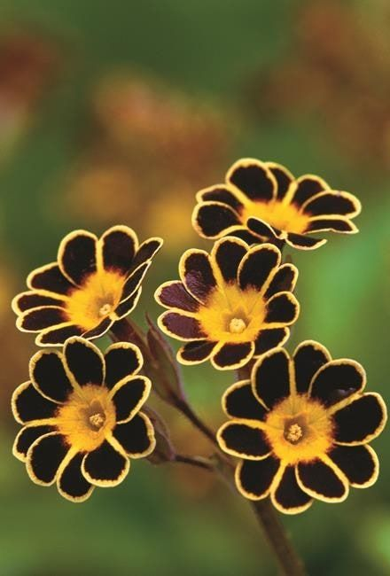 Find out about growing auriculas (primulas) with this guide from Sarah Raven.