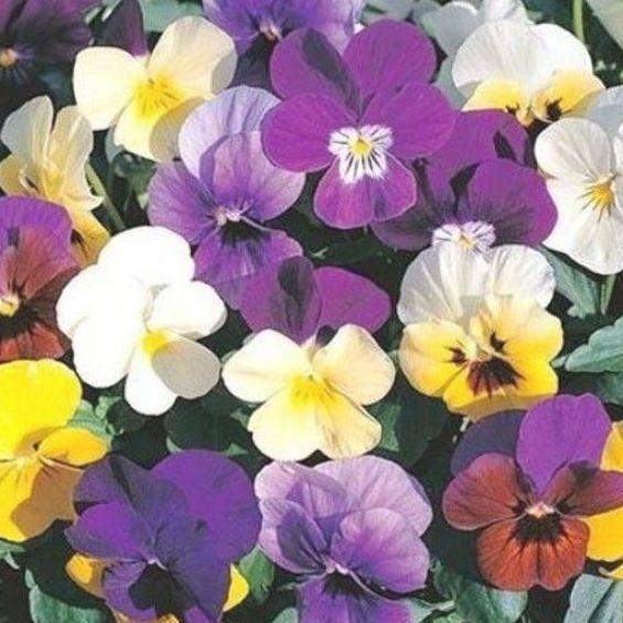 Swiss Giant Velvet Mix Viola Pansy Flower Seeds Biennial 35 In 2020 Flower Seeds Pansies Flowers Pansies