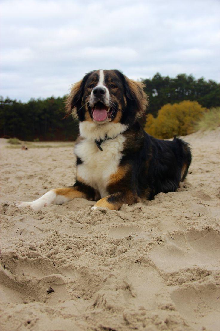 Schoorlse duinen #koningbinc #dogmodel #dog #dogs #lovemydog #animal #schoorl