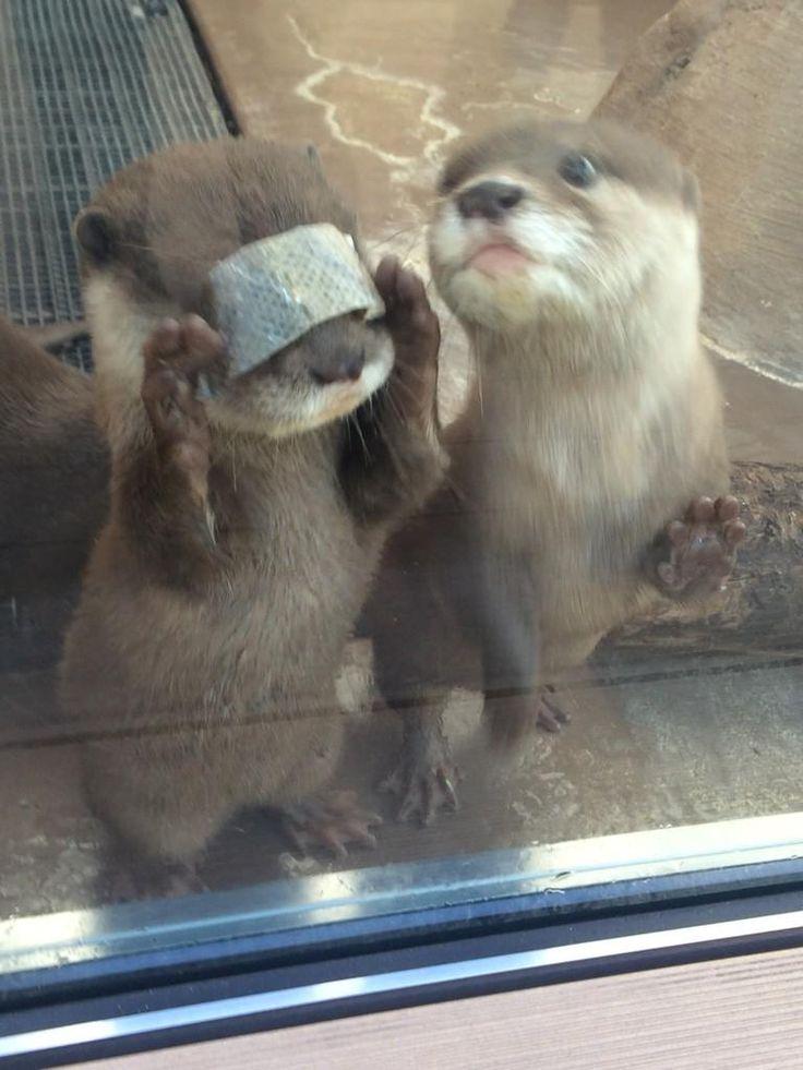 """Huh? I see nothing!! (salmon skin of his snack)""  -- ""@muny_seaotter あれ⁉︎前が見えない‼︎ (おやつの鮭の皮です)""   #サンシャイン水族館 #カワウソ"