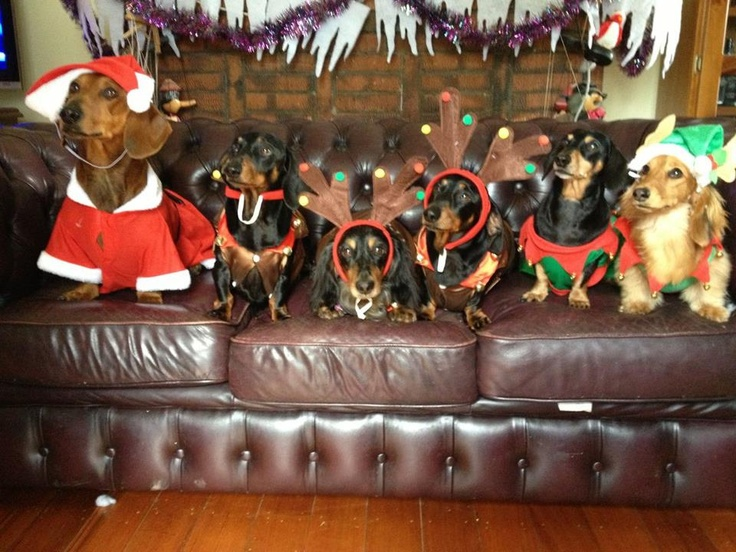 Merry Christmas Everybody From The Krieger Furkids In Order From L To R Frank Ellie Sir Francis Mia Clyde Pet Costumes Dachshund Dachshund Lovers