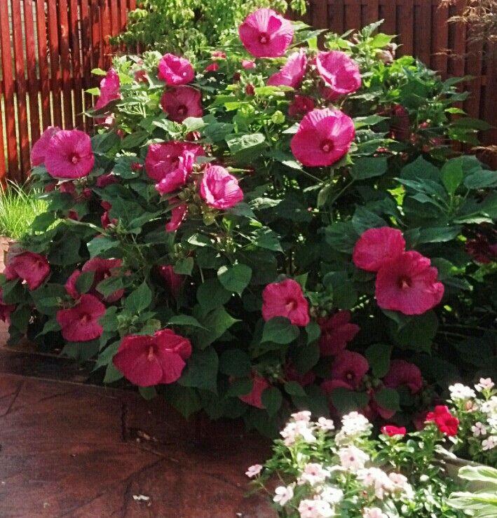 les 25 meilleures id es de la cat gorie hibiscus bush sur pinterest arbustes fleurs bleues. Black Bedroom Furniture Sets. Home Design Ideas
