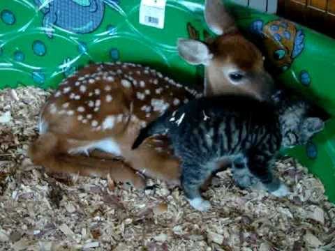 Your eyes are going to well up at the cute-factor of this doe cuddling a kitten video!