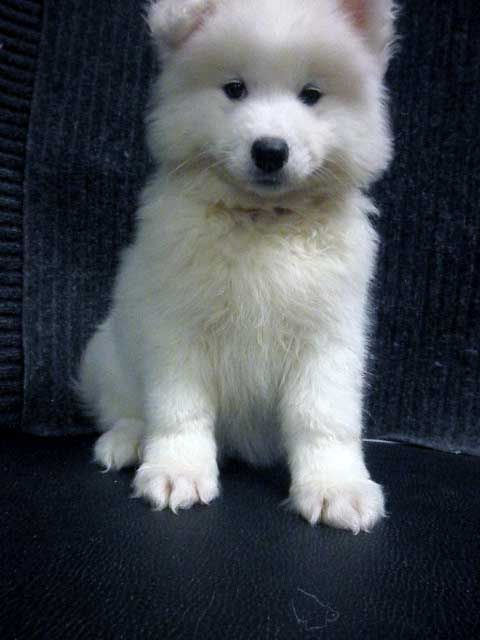 Check out http://www.kabearasamoyeds.com!  Contact Kabeara Kennels in Lockport IL, specializing in Samoyed puppies. Find Samoyed pups for sale Today!