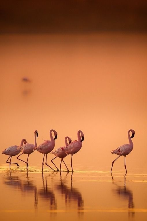 """heaven-ly-mind: """" Flamingo's in gold by Wim van den Heever on 500px """""""