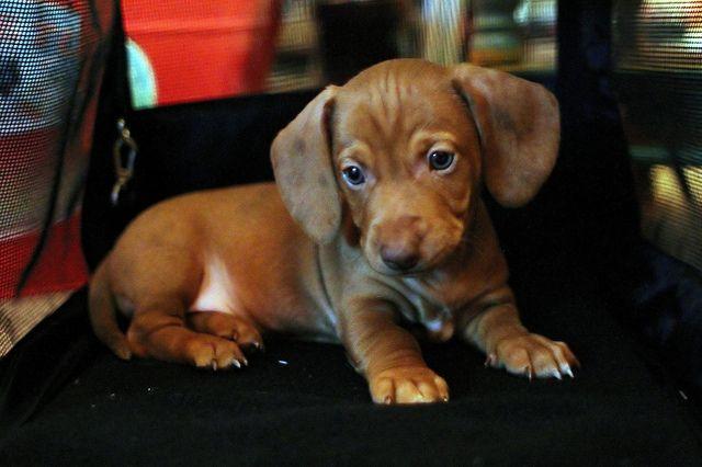 weenie dog.    How precious