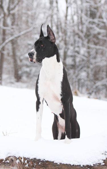 Mantle Great Dane In Snow Aristocratic Great Dane Great Dane